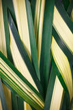 The woven leaves, palm family. Royalty Free Stock Photography