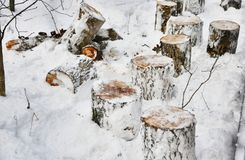 Woven trees in the winter forest. Russia Stock Photos