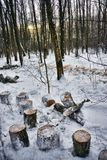 Woven trees in the winter forest on yellow sunset. Russia Royalty Free Stock Image