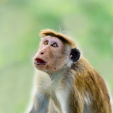 Wow! Cool!. Wow emotional expression on wild monkey face royalty free stock photo