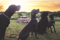 WOW - What Is Over There - Dogs Wondering Royalty Free Stock Images