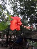 Wow!! wonderful Red China Rose In The branch of the tree. stock photography