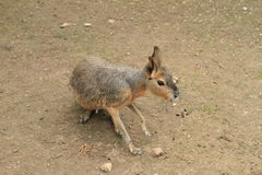 Woylie. Brown woylie (Bettongia penicillata) standing on a ground Royalty Free Stock Image