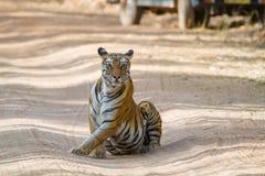Wpatrywać się Królewskiego Bengalia tygrysa Obraz Royalty Free