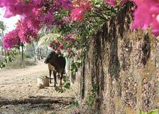 Wpatrywać się krowy Fotografia Royalty Free