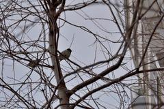 Wróbel na drzewie fotografia royalty free