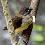 Wróbel birdling na v kształtującej gałąź zdjęcia stock