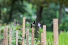 Wróbel cieszy się popołudniowego słońce na bambusowym ogrodzeniu zdjęcia stock