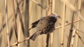 Wróbel czyści piórka na skrzydłowym obsiadaniu na płosze zbiory