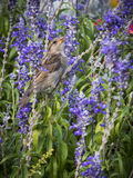 Wróbel między purpurowymi kwiatami Fotografia Stock