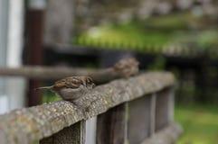 Wróbel na drewnianym ogrodzeniu z rozmytym blackground Fotografia Royalty Free