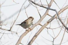 Wróbel na drzewie Fotografia Stock