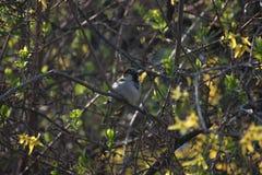 Wróbel na gałąź w Bush Yang liście na gałąź Pogodny ptak obrazy royalty free