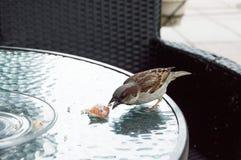 Wróbel na stole w ulicznej kawiarni zdjęcia royalty free