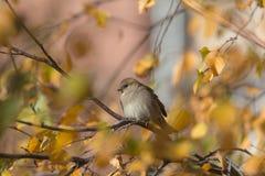 Wróbel w pogodnej jesieni Obrazy Royalty Free