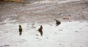 Wróble kąpać w zimnym basenie lód Wiosna Obraz Stock