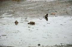 Wróble kąpać w zimnym basenie lód Wiosna Zdjęcie Royalty Free