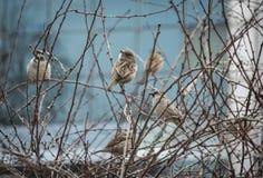 Wróble na drzewie fotografia royalty free