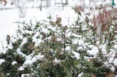 Wróble siedzą na krzaku Śnieżna zima zdjęcia stock
