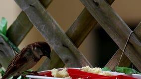 Wróbli film podczas gdy jedzący zbiory