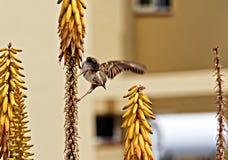 Wróbli męski latanie w żółtych kolorach obraz stock