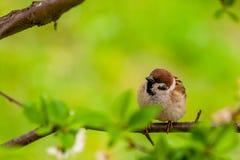 Wróbli obsiadanie na drzewie zdjęcie royalty free