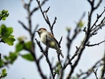 Wróbli ptak na gałąź obrazy royalty free