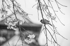 Wróbli ptak na radosnym okwitnięcia drzewie, czarny i biały Zdjęcie Royalty Free