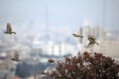 Wróbli ptasi latanie Obraz Royalty Free