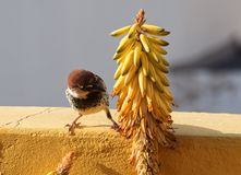 Wróblia samiec iść jeść fotografia stock