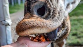 Wręcza żywieniowej marchewki usta żyrafa fotografia stock