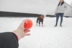 Wręcza chwytom jaskrawą piłkę i przedstawienia jego pies Pies na smyczu i właścicielu ręka pokazuje one piłkę fotografia stock