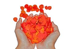 Wręcza mienie róż płatek odizolowywającego na białym tle fotografia royalty free