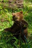 Wręcza Niedźwiadkowych dzikie zwierzęta w mieście chytrym, figlarnie, spryt fotografia stock