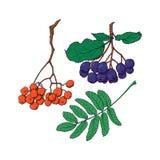 Wręcza patroszonego rowan, chokeberry liście i jagody i Zdjęcie Stock