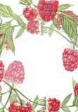 Wręcza patroszonej akwarela obrazu malinki na białym tle Ramowa Botaniczna ilustracja Karciany projekt z kwiatami i Zdjęcie Royalty Free