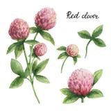 Wręcza patroszonej akwareli botaniczną ilustrację Czerwona koniczyna royalty ilustracja