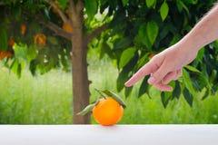 Wręcza pokazywać pomarańczową owoc na tle pomarańczowy drzewo Zdjęcie Stock