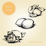 Wręcza rysującego set z cytrus owoc - cytryna, tangerine również zwrócić corel ilustracji wektora ilustracyjny lelui czerwieni st ilustracji