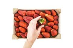 Wręcza zrywaniu czerwonej dojrzałej truskawki od drewnianego pudełka Zdjęcia Royalty Free