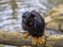 Wręczająca długouszka, Saguinus midas, siedzi na gałęziastym dopatrywaniu otaczania zdjęcia stock