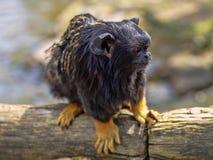 Wręczająca długouszka, Saguinus midas, siedzi na gałęziastym dopatrywaniu otaczania zdjęcie stock