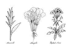 Wręcza Patroszonego amarantu, Arugula i bacy ` s, kiesa Zdjęcia Stock
