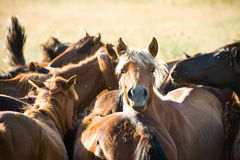 Wrangle in the field. Horses wrangle in the field, Urals, Russia Royalty Free Stock Photo