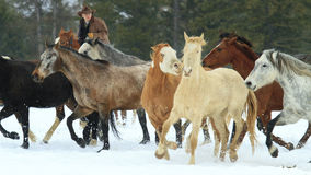 Wrangler Bringing in the horse herd Stock Images