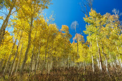 Wrap Around Aspens Stock Image