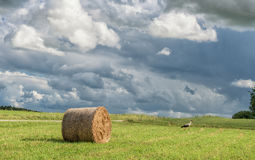 Wrapped Round Brown Hay Bales Field. Rural Area. Landscape. Stork is walking Royalty Free Stock Photos