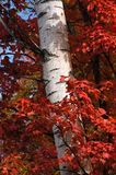 Wrapped Tree. Red maple leaves surrounding a birch tree in fall Stock Photo
