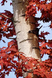 Wrapped Tree. Maple leaves surrounding a paper birch tree against blue sky Royalty Free Stock Photo