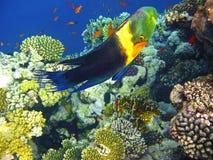 wrasse кораллового рифа boomtail Стоковая Фотография
